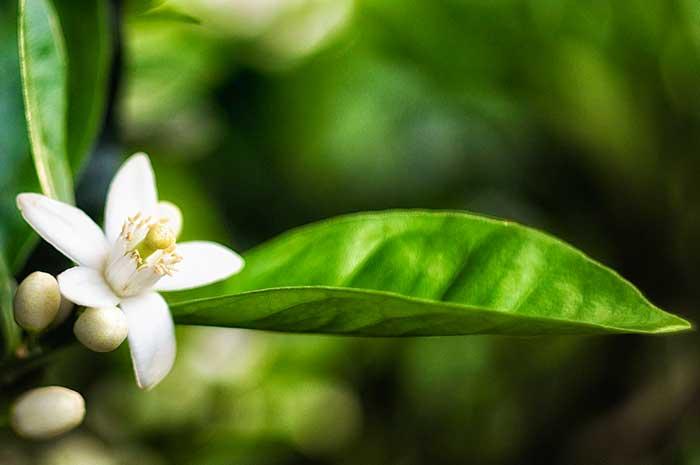 propiedades aceite de azahar