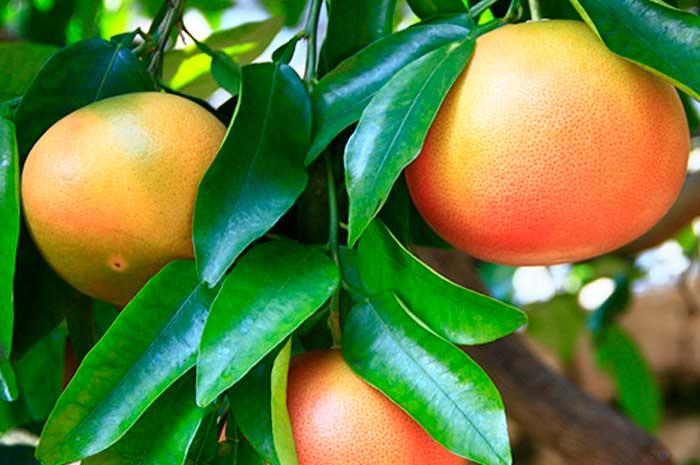 propiedades aceite esencial pomelo
