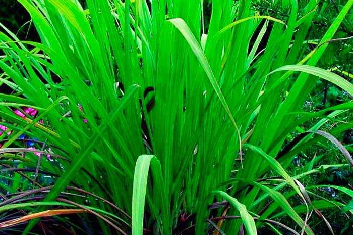 beneficios aceite palmarosa