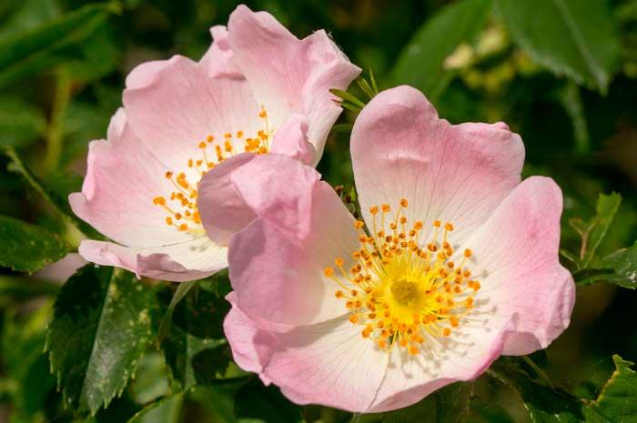 beneficios aceite esencial rosa mosqueta