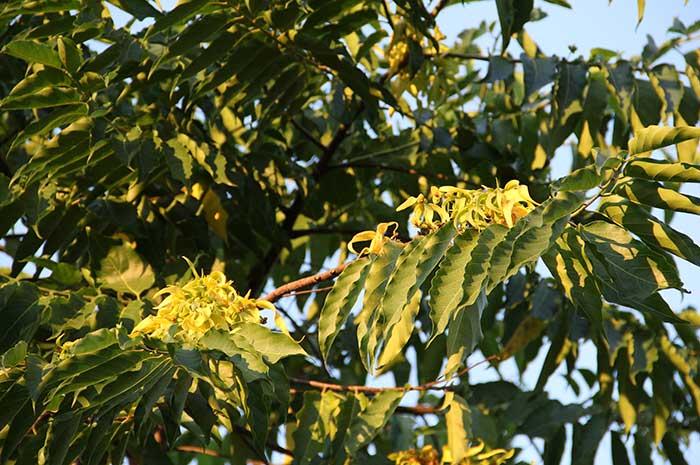 aceite arbol ylang ylang