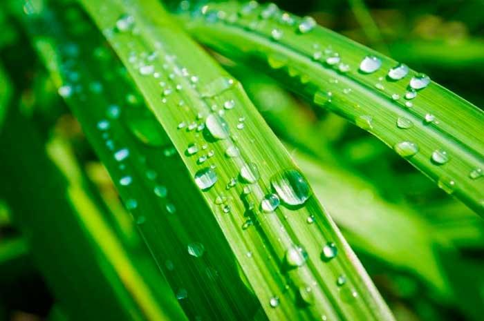 beneficios aceite esencial lemongrass