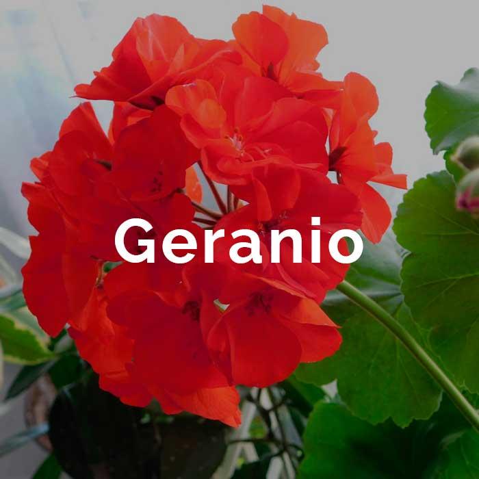 propiedades aceite geranio