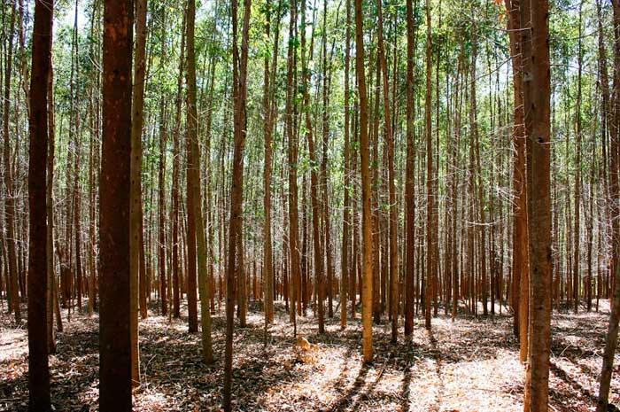 usos del aceite de eucalipto