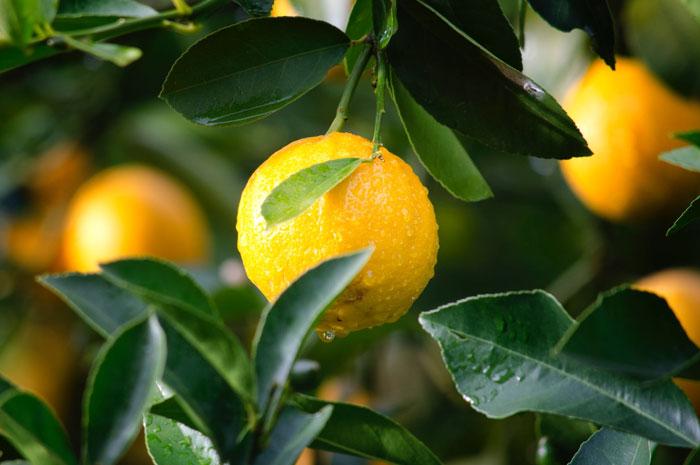 usos del aceite esencial de limon